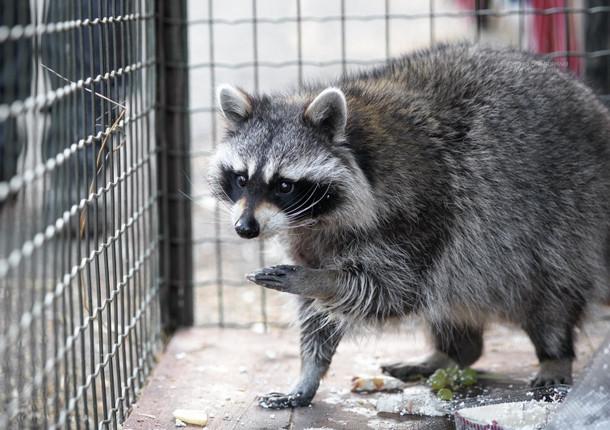 В красноярском зоопарке отмечали День енота