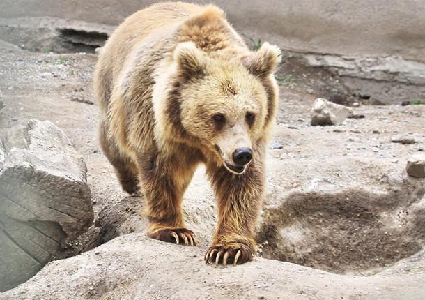 Медведь в красноярском зоопарке вышел из спячки и занялся спортом